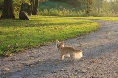 Ein Chihuahua-Hund in einem Park Lizenzfreie Stockbilder