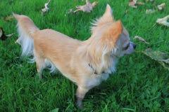 Ein Chihuahua-Hund in einem Park Lizenzfreie Stockfotografie