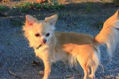 Ein Chihuahua-Hund in einem Park Stockfotografie