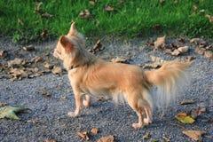 Ein Chihuahua-Hund in einem Park Stockfotos