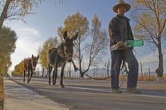 Ein chinesischer alter Mann und seine Esel Stockfotografie