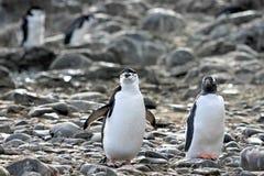 Ein Chinstrap-Pinguin auf dem links und ein Gentoo-Pinguin auf der rechten, antarktischen Halbinsel Lizenzfreie Stockfotos