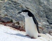 Ein Chinstrap-Pinguin genießt den Sonnenschein in der Antarktis Lizenzfreies Stockbild