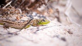 Ein clouse-up der bunten Eidechse versteckt sich im trockenen Gras vor dem hintergrund des heißen Sandes und der Anlagen Lizenzfreies Stockfoto