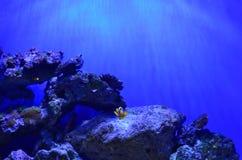Ein Clownfisch schwimmt nach rechts in die Kammer Stockbild