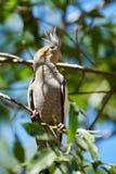 Ein Cockatiel in seinem natürlichen Lebensraum Lizenzfreies Stockbild