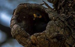 Ein Common myna Acridotheres tristis, die in einem Baum nisten Lizenzfreie Stockfotografie