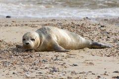 Ein Common- oder Seehundrobbenbaby, das auf dem sandigen Strand stillsteht Lizenzfreies Stockfoto