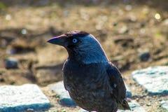 Ein Corvusvogel Lizenzfreie Stockfotos