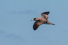Ein Cory-` s Sturmtaucher, Calonectris-borealis, Seevogel Stockfotografie
