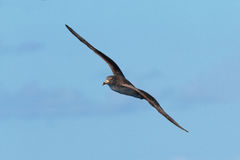Ein Cory-` s Sturmtaucher, Calonectris-borealis, Seevogel im Flug Stockbild