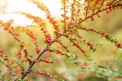Ein Cotoneasterbusch mit roten Beeren auf Niederlassungen, herbstlicher Hintergrund Bunte Herbstbüsche der Nahaufnahme im Park Lizenzfreies Stockfoto
