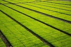 Ein cultivest Reisfeld lizenzfreie stockbilder