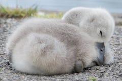 Ein Cygnet, der neben dem Boating See auf Southampton-Common schläft lizenzfreie stockfotos