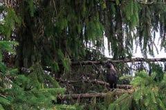 Ein daw auf einem Tannenbaum Lizenzfreies Stockfoto