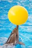 Ein Delphin mit einer gelben Ballschwimmen im Pool stockfotos