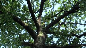 Ein denkwürdiger Baum, der Eichenkönig, die Eichenrobur-Sommereiche, 500 Jahre alt, eine Legende genannt wird, sagt dass der tsch stock video