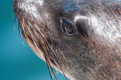 Ein der enormen Herde der Pelzrobbenschwimmens nahe dem Ufer des Skeletts Lizenzfreies Stockfoto