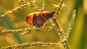 Ein des Schmetterlinges, der auf Wildflower im Windvideo HD sitzt stock video