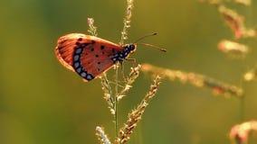 Ein des Schmetterlinges, der auf Wildflower im Windvideo sitzt stock footage