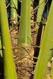 Ein Detail der furchtsamen Spitzen der Palme Stockfotos