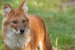 Ein Dhole alias ein roter Hund stockbilder