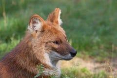 Ein Dhole alias ein roter Hund stockfoto