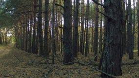 Ein dichter Kiefernherbstwald in der Sonnenuntergangzeit stock footage