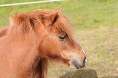 Ein die chesnut Shetlandinseln-Pony lizenzfreie stockfotos