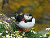 Ein die Shetlandinseln-Papageientaucher Stockfoto