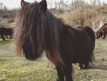 Ein die Shetlandinseln-Pony im Winter lizenzfreies stockbild