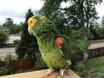 Ein doppelter Gelb-köpfiger Amazonas-Papagei, der das Freien genießt, hockte zwanzig Fuß des Bodens stockfotografie