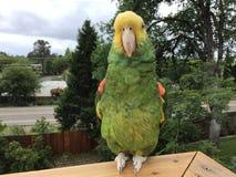 Ein doppelter Gelb-k?pfiger Amazonas-Papagei, der das Freien genie?t, hockte zwanzig Fu? des Bodens stockfotografie