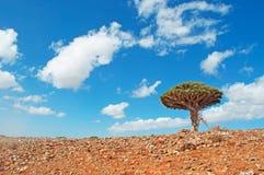 Ein Dragon Blood-Baum, Socotra, der Jemen, Liebe, Symbol der Heirat, Doppel Lizenzfreie Stockbilder