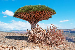 Ein Dragon Blood-Baum und -tote Zweige, rote Felsen und Schlucht in Shibham, Dixam-Hochebene, Socotrainsel, der Jemen Lizenzfreies Stockbild