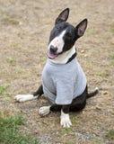 Ein drei mit Beinen versehenes Bull Terrierlächeln Lizenzfreie Stockfotografie