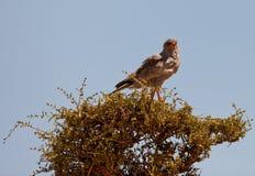 Ein Dunkel-Singen Hühnerhabicht auf einem Baum stockfotografie