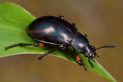Ein dunkler Käfer Stockbilder