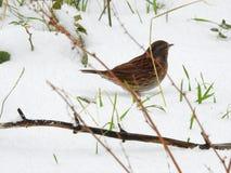Ein Dunnock im Schnee Lizenzfreies Stockfoto