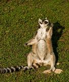 Ein durchdachter Lemur Stockbild