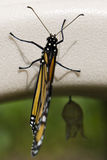 Ein eben ausgebrüteter Monarch lizenzfreie stockbilder