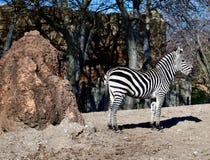 Ein Ebenen-Zebra stockfotografie