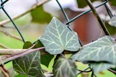 Ein Efeu, der auf dem Zaun wächst lizenzfreie stockfotos