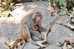 Ein ehrfürchtiger Verschluss von Affemutter-Zufuhrmilch zu ihrem Affekind in einem großen Stein in der sorgfältig u. Liebe Lizenzfreies Stockfoto