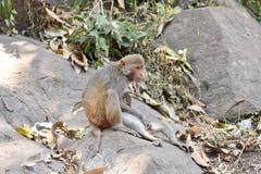 Ein ehrfürchtiger Verschluss von Affemutter-Zufuhrmilch zu ihrem Affekind in einem großen Stein in der sorgfältig u. Liebe Stockfotografie