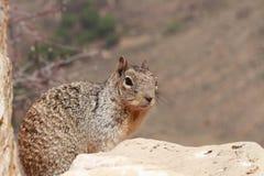 Ein Eichhörnchen Lizenzfreie Stockbilder