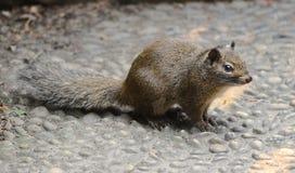 Ein Eichhörnchen Lizenzfreies Stockfoto