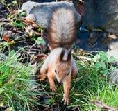 Ein Eichhörnchen Stockbild