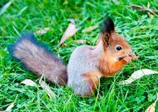 Ein Eichhörnchen Stockfotografie