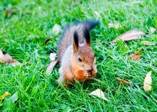 Ein Eichhörnchen Lizenzfreie Stockfotografie